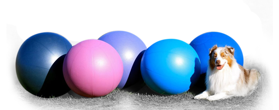 dog lies in front of swiss exercise balls