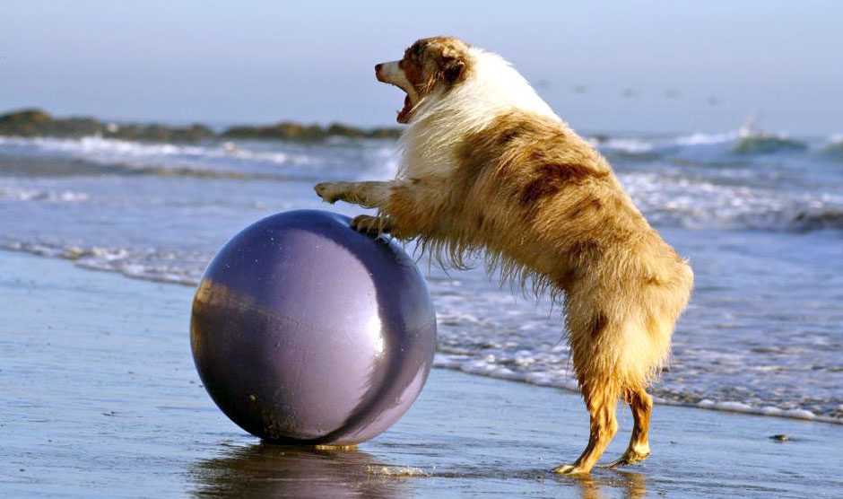dog playing with swiss ball at the beach